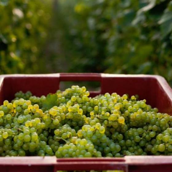 Le début des vendanges 2014 en Champagne Ardenne annoncé sous un climat exceptionnel